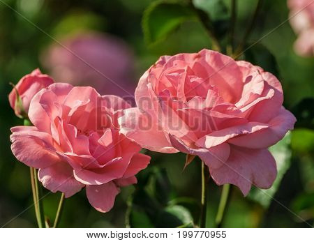 light pink rose close up in full bloom growing in the garden in summer, sunlight, large flower, two pieces and one bud on the bushes,