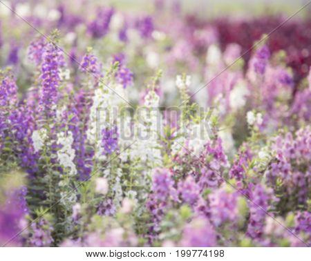 Blur background flowers (salvia officinalis) in the garden