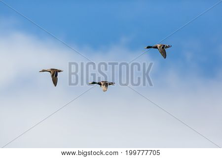 Three Mallard Ducks (anas Platyrhynchos) Flying, Clouds, Blue Sky