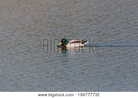 Natural Male Mallard Duck (anas Platyrhynchos) Swimming