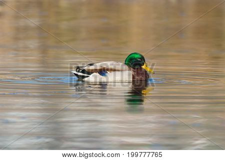 Portrait Of Swimming Male Mallard Duck (anas Platyrhynchos)