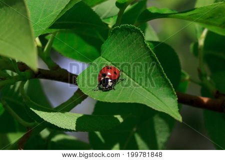 Beautiful ladybug sits on a green leaf of a tree. Animals in wildlife.