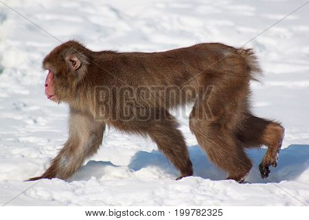 Japanese macaque walking on cold white snow. Animals in wildlife.
