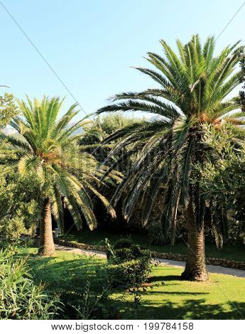 palmtrees in the park of the old town Rab, Croatia