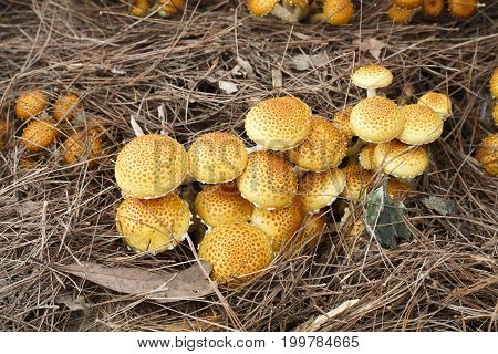Shaggy Pholiota Mushrooms before harvest in farm