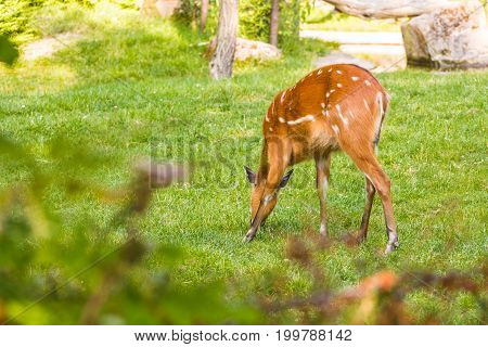 Roe deer eating fresh grass on the meadow, top view. Wildlife, animals, zoo and mammals concept.