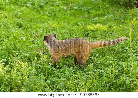 South American coati, Nasua nasua, in the nature habitat. Animal from tropic forest. Wildlife scene from the nature.