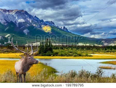 Grandiose landscape in the Rocky Mountains. A noble deer with branched horns graze on the shore of a picturesque lake. The concept of ecological and active tourism