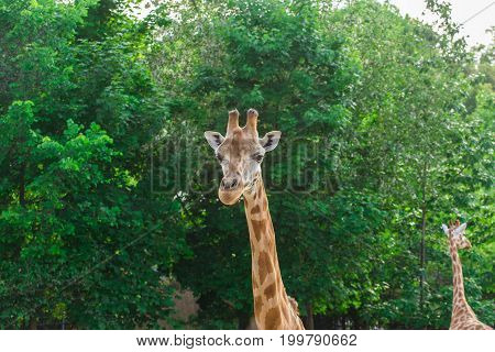 Pair of giraffe portrait seeing necks and heads on green leaves background.