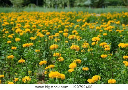 Marigold garden yellow color in park and clear sky