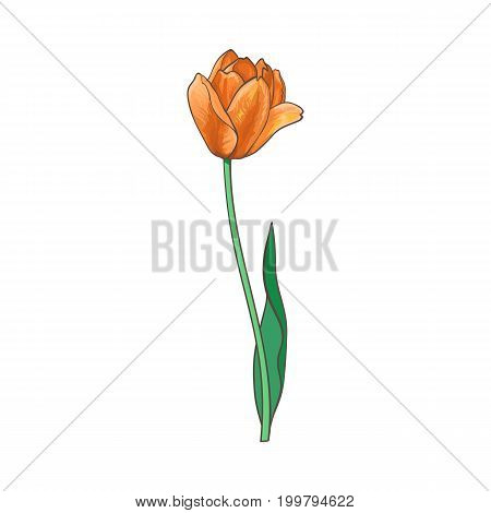 vector tulip isolated illustration on a white background. Flower with opened blooming blossom , stem and leaves realistic hand drawn side view. Spring, love and care symbol