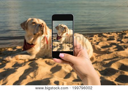 Woman hands with mobile cell phone to take a photo of labrador dog lying on the sand. Dog labrador on the beach