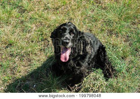 Nine years old cocker spaniel the dog