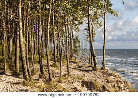 pine trees on windy shore of the Baltic sea