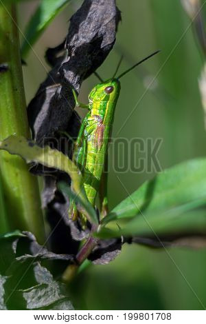 Grasshopper Sits On The Stem Of The Plant