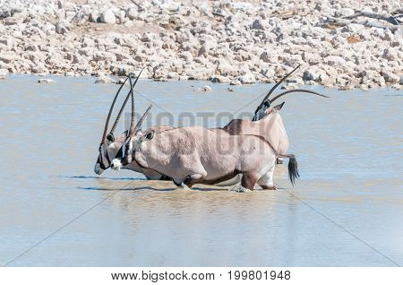 Three oryx also called gemsbok one with a deformed horn one with broken horn in a waterhole in Northern Namibia