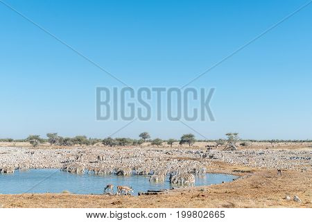 A large herd of Burchells zebras Equus quagga burchellii drinking water at a waterhole in Northern Namibia