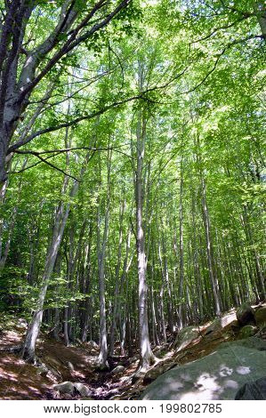 Trees in the forest mountains The Montseny.