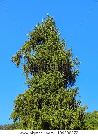 Lonely fir tree on blue sky background