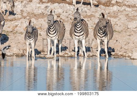 Four Burchells zebras Equus quagga burchellii at a waterhole in Northern Namibia