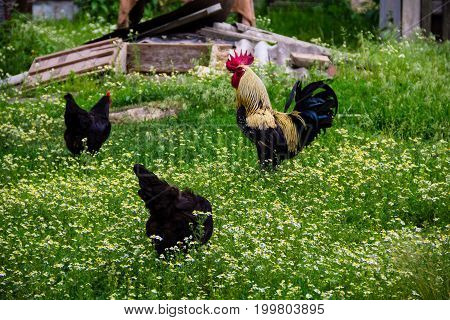 Rooster And Hens In The Yard