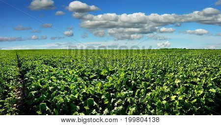 Sugar beet bright green leaves in field with cloudy blue sky