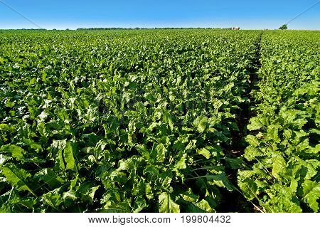bright green leaves in Sugar beet field with sky