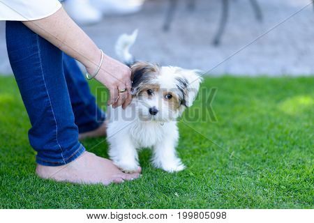 Small Cute Puppy On Backyard Grass With Owner