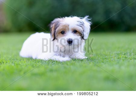 Adorable Havanese Maltese Puppy Backyard Portrait