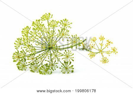Wild fennel flowers closeup isolated on white background.