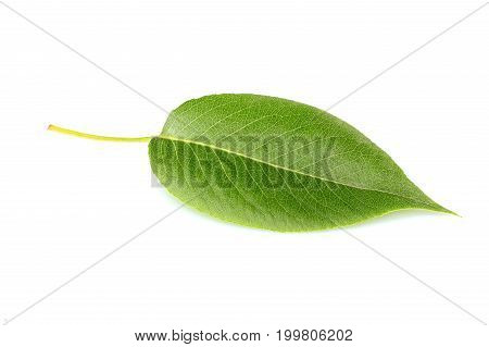 Beautiful fresh leaf of pear tree isolated on white background.