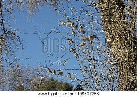 In the tree branches herd of birds. starlings