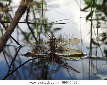 Dragonfly with a broken wing drowning in the water