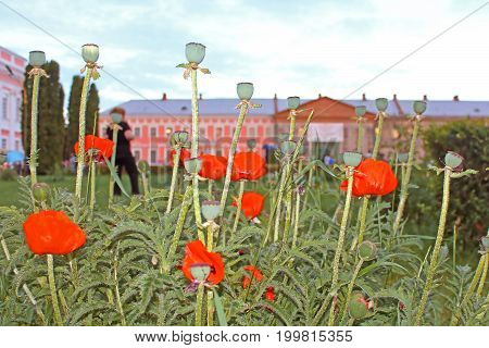 TULCHYN, UKRAINE - JUNE 05, 2017: Poppies and Potocki Palace as background. OperaFestTulchyn international opera open air festival was held in Tulchyn on the territory of Potocki Palace, Vinnytsia region, Ukraine