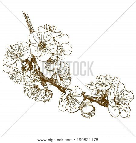 Vector antique engraving illustration of cherry blossom or sakura isolated on white background