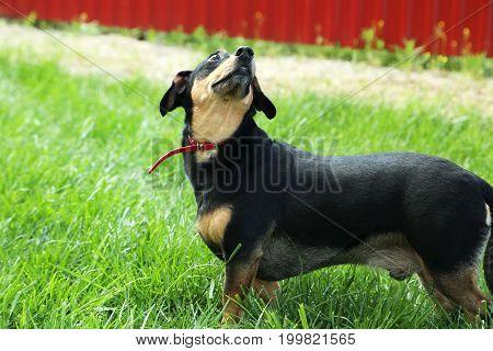 The Black dachshund on the green grass