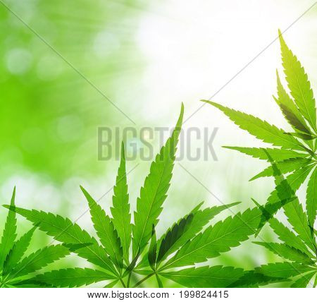 Cannabis leaf, marijuana on green natural background.