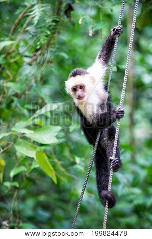 Primate Animal Hanging On Cable In Rainforest Of Honduras