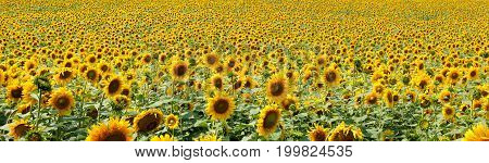 Rural nature landscape. Sunflowers field. Agricultural business, sunflower oil production. Summer farming.