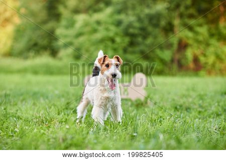 Shot of a happy young fox terrier dog standing outdoors in the park nature friend animals pets happiness lifestyle.