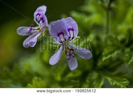 Close up of rose geranium or pelargonium flower in garden, Sofia, Bulgaria