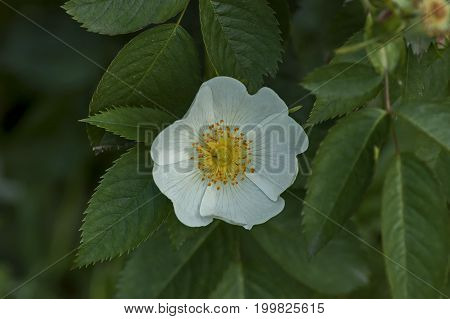 Fresh bloom of wild rose, brier or Rosa canina flower in the garden, Sofia, Bulgaria