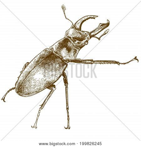 Vector antique engraving illustration of beetle deer isolated on white background