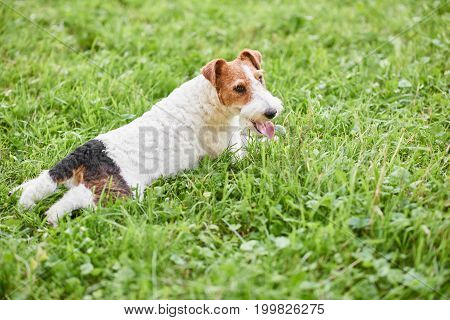 Rearview shot of an adorable fox terrier puppy lying in the grass on a warm summer day at the park copyspace relax relaxing relaxation recreation nature happiness.