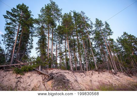Group Of Tall Pine Trees On The Sea Coast