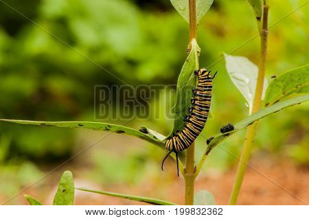 Monarch Caterpillar On A Milkweed Plant