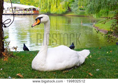 White big swan on the green grass