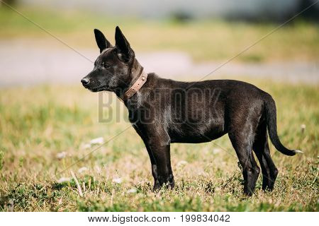 Funny Black Small Size Mixed Breed Puppy Dog Playing Outdoor In Green Grass At Summer Meadow