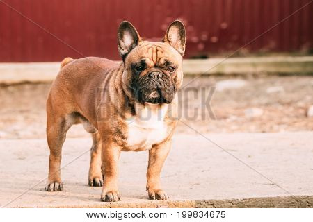 Adult Red French Bulldog Dog Standing Outdoor.