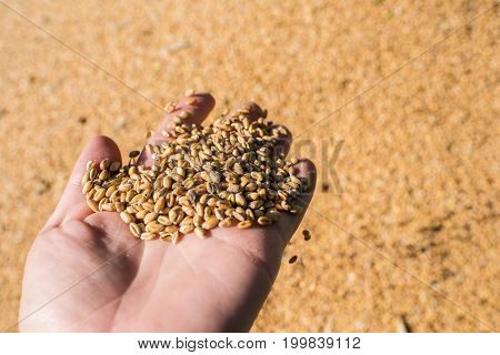It's time to harvest wheat wheat grains on the palm concept